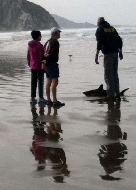 shark b